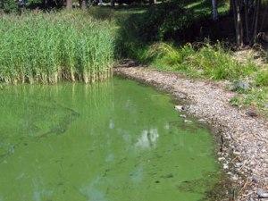 blue-green-algae