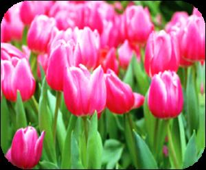 tulips-300x248